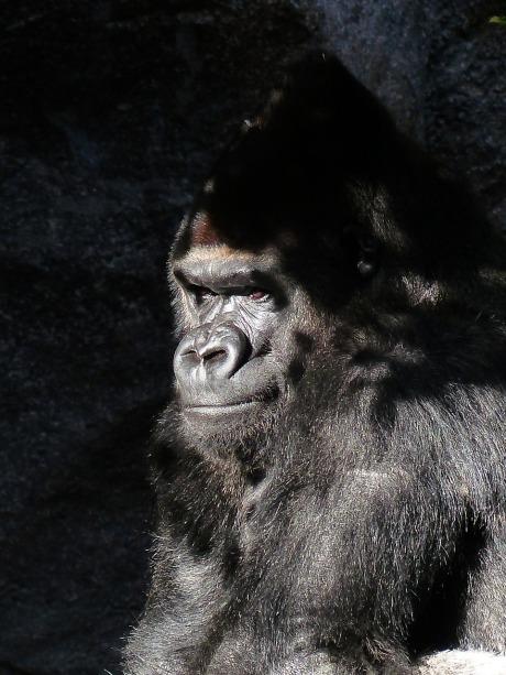 gorilla-406522_1280